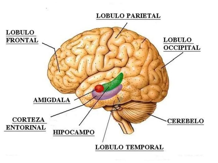 Divisiones lobulares