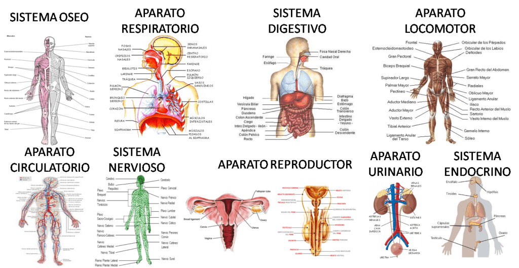 Cuidado Del Cuerpo Humano: Las Sistemas Del Cuerpo Humano Y Sus Funciones Vitales