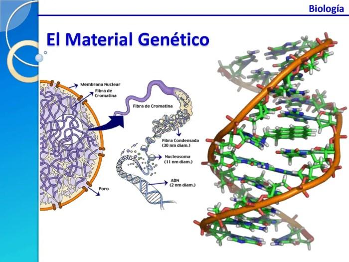 El material genético, el ADN, se almacena en cromosomas dentro del núcleo
