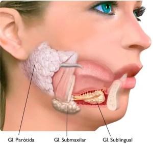 Localización de las glándulas salivares en la boca