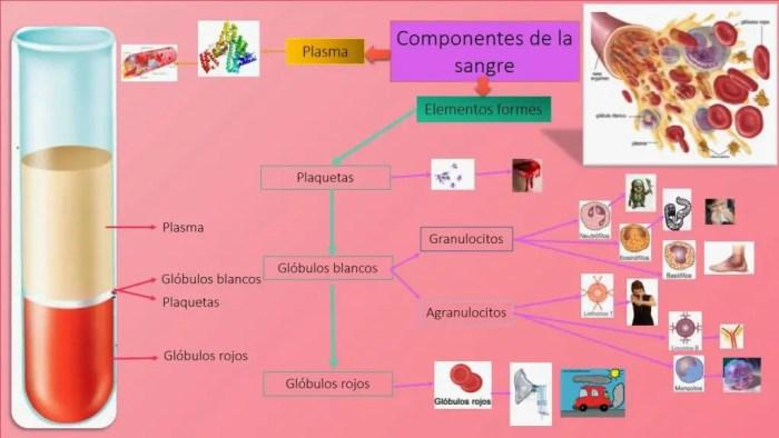 Los componentes principales de la sangre son el plasma, las plaquetas, los globulos blancos y los globulos rojos