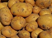 Cómo cultivar papas para comerlas frescas