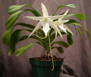 Recuperar Orquídea que está morrendo