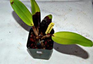 Podridão Negra em Orquídeas infectada por bactérias