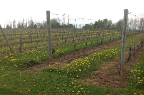 Vinho do Grand Pré, Nova Scotia, Canadá, Vinícola Domaine de Grande Pré - Nathalia Molina @ComoViaja (4)