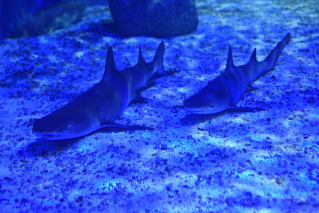 Tubarões-no-Aquário-do-Rio-AquaRio-Perto-da-Praça-Mauá-no-Centro-Foto-Alexandre-Macieira-Visit-Rio-Divulgação