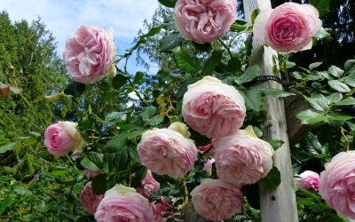 Roses at Silverlea, Dianne and Roland's Garden