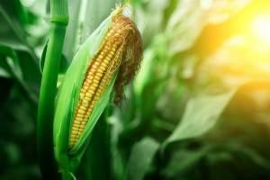 Notowania kukurydzy rozpoczęły nowy tydzień od luki spadkowej
