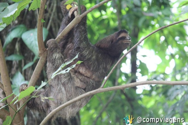 Mamãe e filinho preguiça no Parque Manuel Antonio, Costa Rica