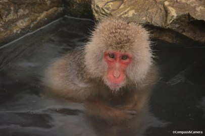 Japan Snow Monkeys