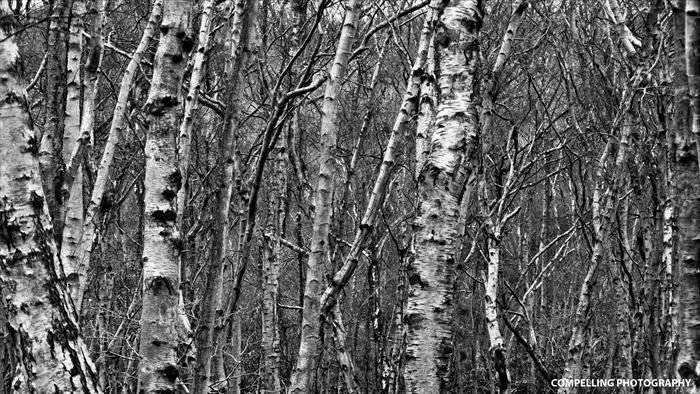 Silver Birches in Black and White