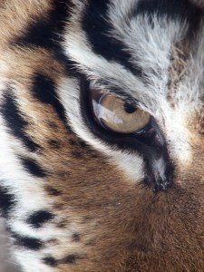 3 Steps to Achieving Your Dreams - The Eye of the Tiger