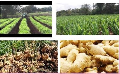 How To Be A Ginger Exporter From Nigeria