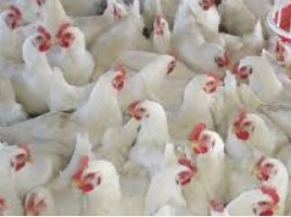 Poultry Farming Broiler Vaccination & Medication For Today's Farmer