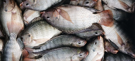 How You Can Make Your Millions From  Fish Farming Business In Nigeria
