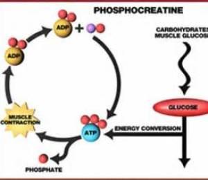 Phosphocreatine1.2