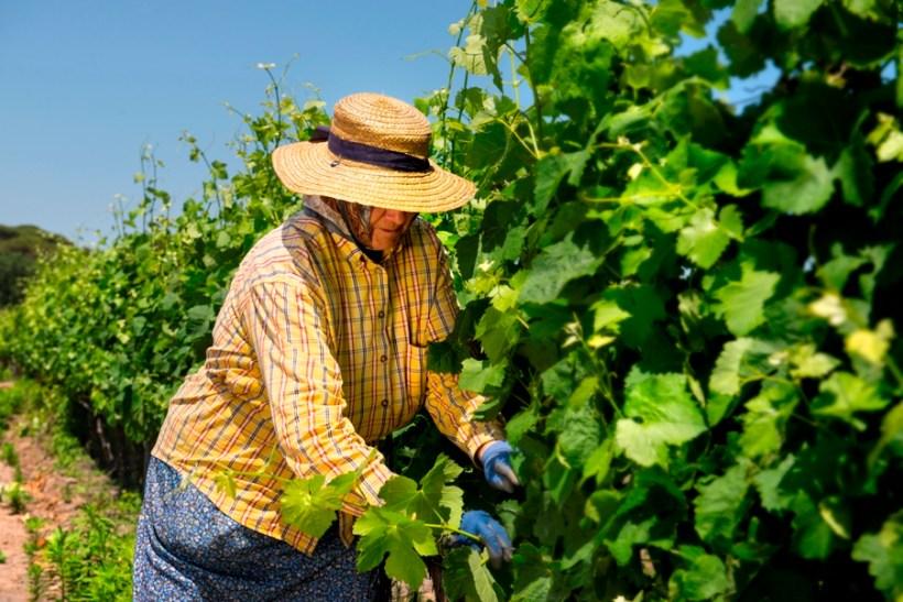 Pruning the Vineyard in Muda