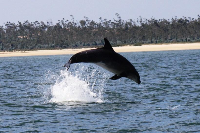 Sado Dolphin
