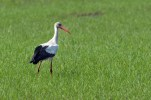 The Comporta Stork