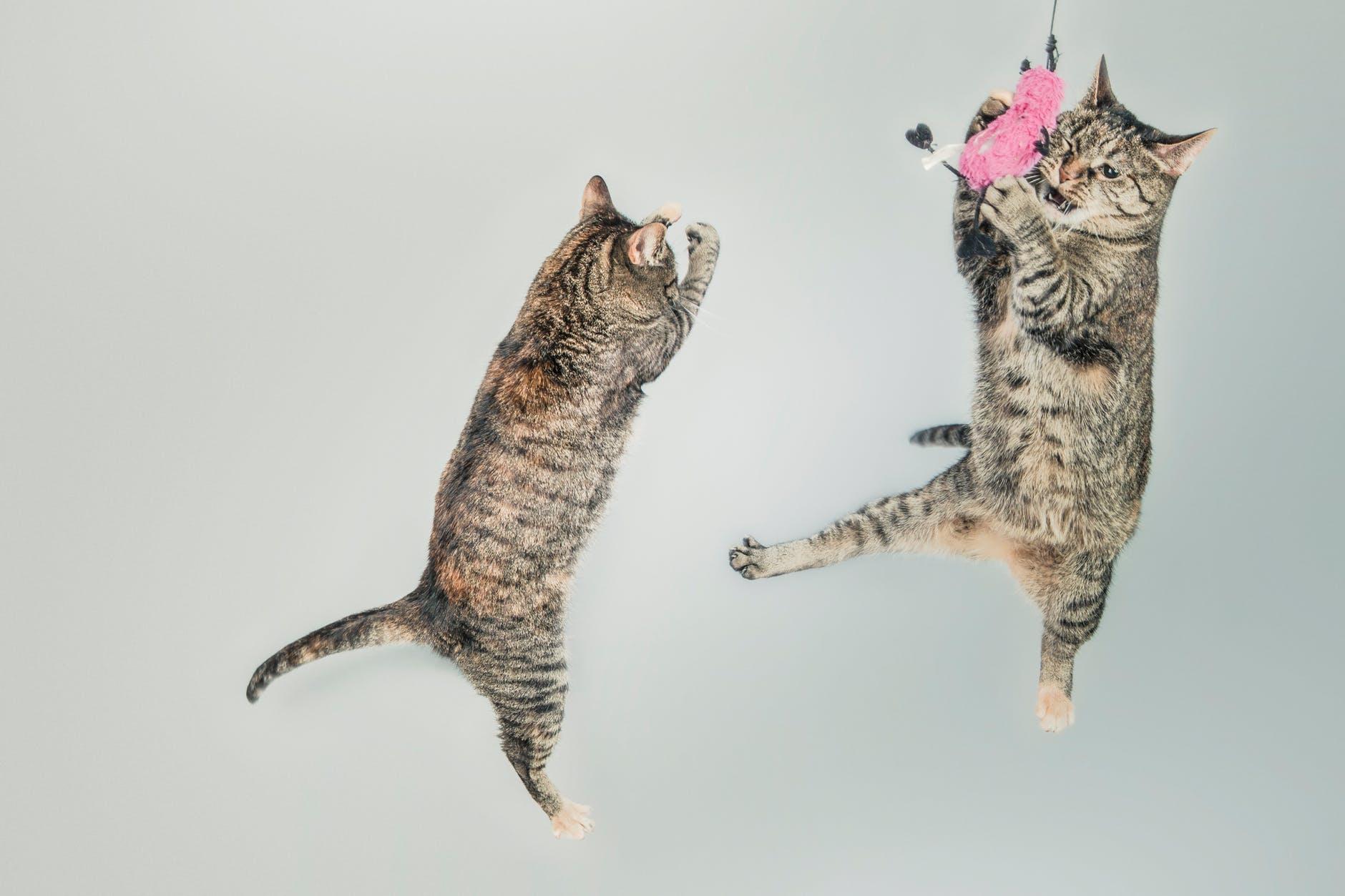 Deux chats bondissent pour attraper un jouet. La limite entre la prédation et le jeu est mince.