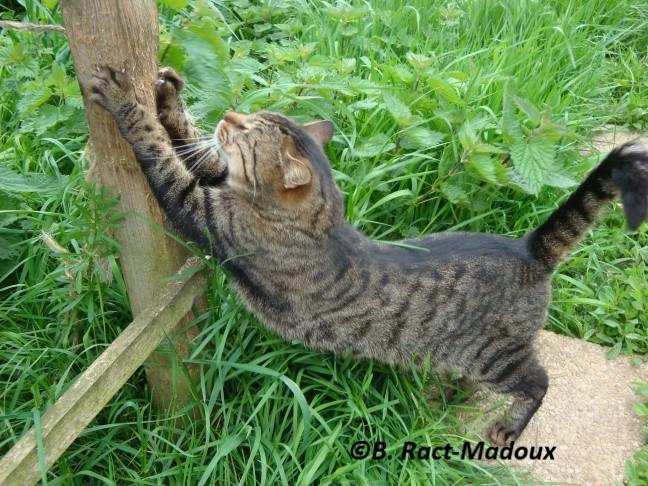 Un chat tigré marque le bois de ses griffes et dépose des odeurs. ça n'est pas du marquage territorial. Le chat n'est pas une espèce territoriale.