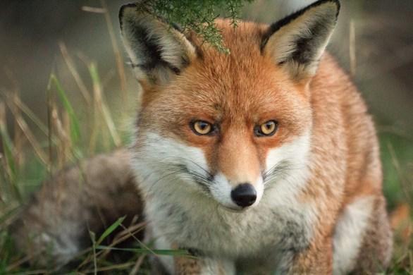 Fox at the British Wildlife Centre