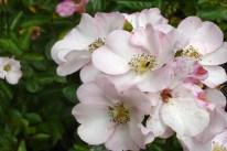 Cape Cod rose