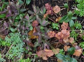Peach and purple foliage