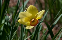Daffodil La Traviata