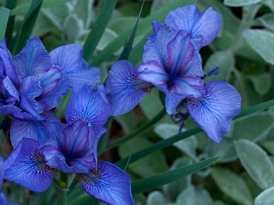 Siberian Iris Reprise