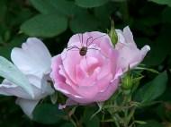 Spider on Rose