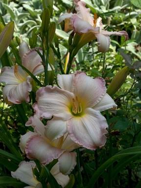 Susan Weber daylily