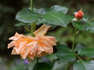 Apricot Griffith Buck rose