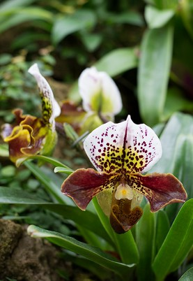 Rich brown tones in orchid
