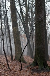 Sentinel oaks