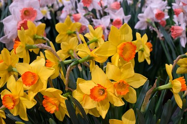 Daffodils in competition