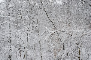 Lacy snowy woods
