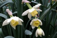 Pale daffodils with dew