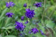 Columbine 'Blue Barlow'