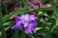 Siberian Iris Blackberry Jubilee