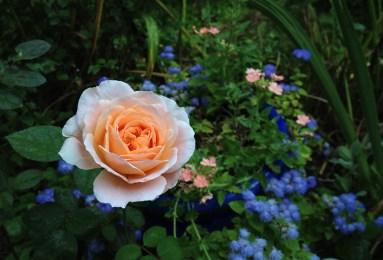 Rose 'Ambridge Rose'