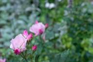 Rose 'Blushing Knockout'