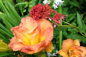 Daylily 'Frances Joiner' and Echinacea 'Guava Ice'