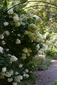 Hydrangea pg 'Lime Frost'