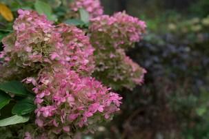 'Limelight' blossom