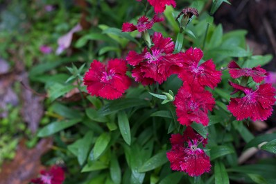 Red Dianthus