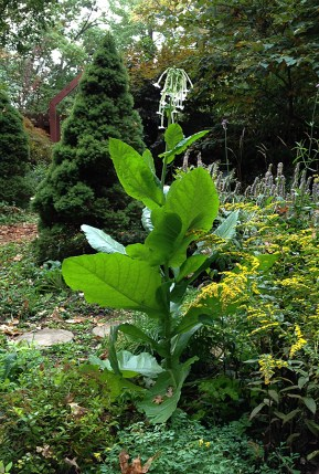 Nicotiana sylvestris