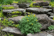 Corydalis lutea seeded in the steps
