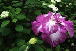 Iris ensata (double)