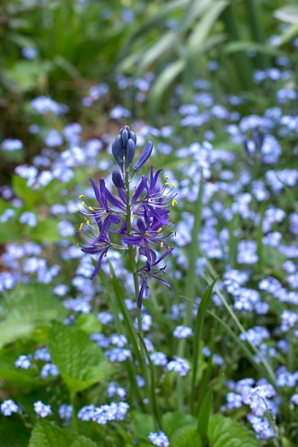 Camassia leichtlinii caerulea and forget-me-nots